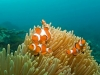 pc312304_western_clownfish_6